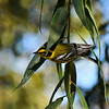 A male Townsend's Warbler searching for insects in a Goodding's Willow tree.