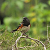 A male Spotted Towhee