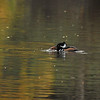 A male Hooded Merganser getting ready to swallow a crawfish