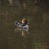 Two female Hooded Mergansers