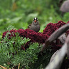 An adult White-crowned Sparrow eating the seeds of the Amaranth plant