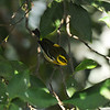 A male Townsend's Warbler in my Tangerine Tree
