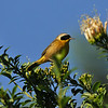 A male Common Yellowthroat