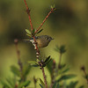 A Ruby-crowned Kinglet in a Bottlebrush Tree