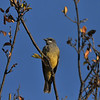 A Cassin's Kingbird perched in my Chinese Fringe Tree