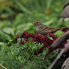 A juvenile White-crowned Sparrow with Amaranth