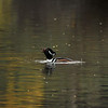 A male Hooded Merganser swallowing a crawfish