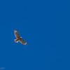 Buse à épaulettes.  Rare du printemps à l'automne.  Très rare l'hiver. Nicheur _  Red-shouldered Hawk.  Rare from spring to fall. Very rare in winter. Breeds.