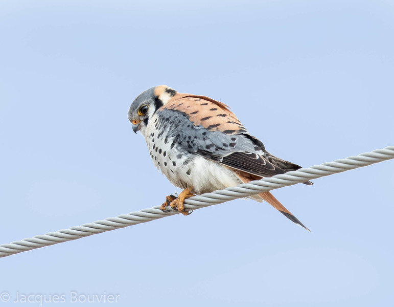 Crécerelle d'Amérique .  Peu commun du printemps à l'automne; rare l'hiver.  Nicheur _  American Kestrel.  Uncommon, spring to fall; rare in winter.  Breeds.