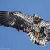Pygargue à tête blanche.  Peu commun, toute l'année. Nicheur  _  Bald Eagle.  Uncommon, all year. Breeds.