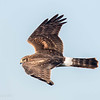 Busard des marais.  Commun, printemps à l'automne.  Rare l'hiver. Nicheur _   Northern Harrier.  Common, spring to fall.  Rare in winter.  Breeds.