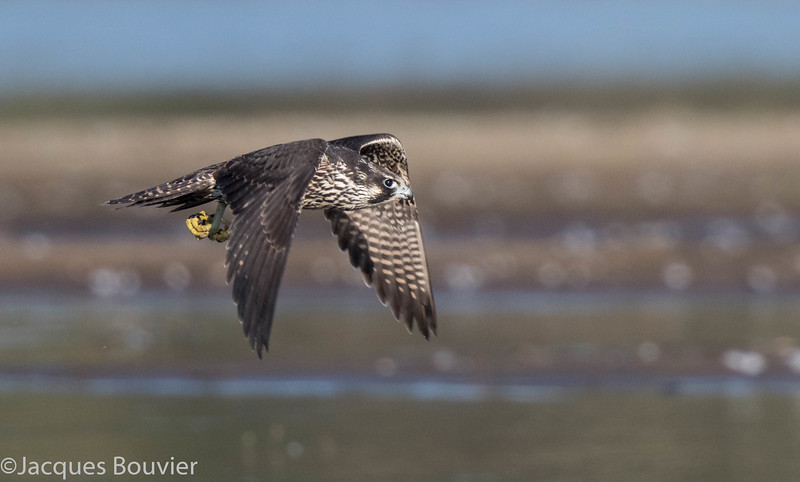 Faucon pèlerin - Peregrine Falcon