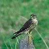 Faucon émerillon.  Peu commun, printemps-automne; rare l'hiver.  Nicheur  _  Merlin.  Uncommon, spring-fall; rare in winter. Breeds.