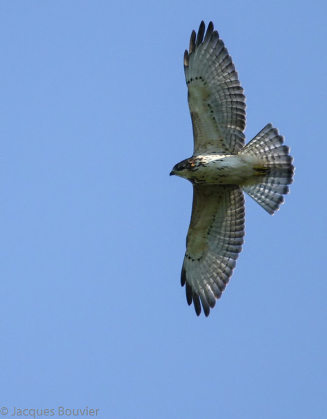 Petite Buse. Commun, printemps-automne.  Nicheur _ Broad-winged Hawk. Common, spring-fall.  Breeds.