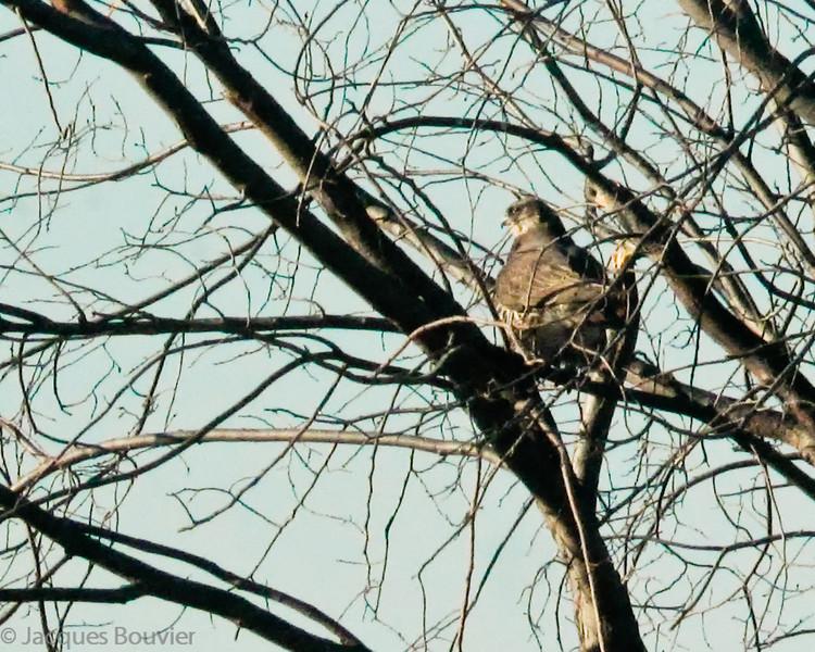 Faucon gerfaut.   Très rare l'hiver _  Gyrfalcon.  Very rare in winter.