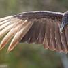 Urubu noir.  Extrêmement rare   _    Black  Vulture.  Extremely rare.
