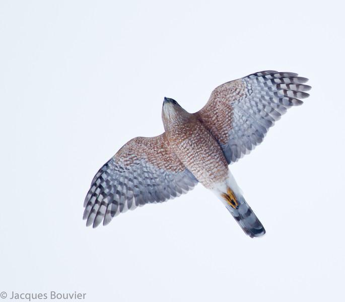 Épervier de Cooper.  Peu commun à l'année longue.  Nicheur _  Cooper's Hawk .  Uncommon all year.  Breeds.