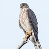 Épervier brun. Peu commun toute l'année.  Nicheur _  Sharp-shinned Hawk.  Uncommon all year.  Breeds.