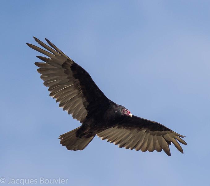 Urubu à tête rouge.  Commun, printemps-automne.  Nicheur  _  Turkey Vulture.  Common, spring-fall.  Breeds.