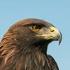 Aigle royal. Rare, automne-printemps    _    Golden Eagle. Rare, fall-spring.