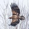 Pygargue à tête blanche juvénile (moins d'un an / à sa première année) photograhié à  Montebello le 22 mars 2015.<br /> <br /> Dès l'automne le dos et le devant des ailes deviennent brun et contrastent avec le dessus noirâtre des primaires et des secondaires; ce contraste permet de le distinguer de l'Aigle royal et de l'Urubu à tête rouge qui ne possèdent jamais de contraste si marquant.<br />  <br /> Seulement le juvénile a le ventre fauve et les secondaires avec le bout pointu qui sont toutes de la même longueur; il a aussi la tête et l'oeil d'un brun sombre, et la cire et le bec foncés.<br /> <br /> <br /> <br /> A juvenile (less than1 year old/1st-year) BALD EAGLE photographed in Montebello on 22 March 2015.<br /> <br /> By autumn, the back and upperwings fade to brown and contrast with the blackish flight feathers, often appearing two-toned at a distance; vultures and Golden Eagles do not show this clear contrasting pattern.<br /> <br /> Juveniles have tawny bellies and pointed-tip secondaries that are all the same length; they also have a dark brown head, and dark cere, and beak.  Eye colour is dark also.