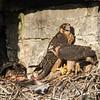 Faucon pèlerin.  Peu commun, printemps-automne; rare l'hiver.  Nicheur  _ Uncommon, spring-fall; rare in winter.  Breeds.