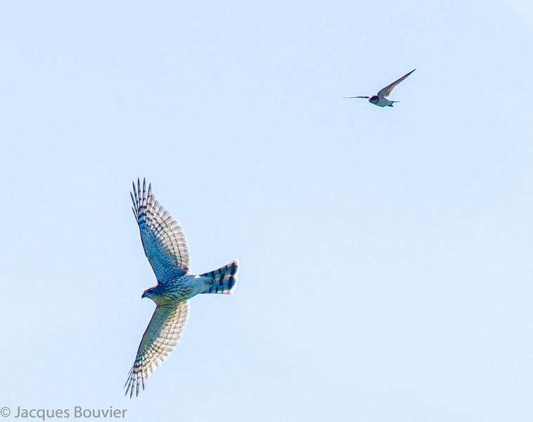 Épervier brun. Peu commun toute l'année.  Nicheur _  Sharp-shinned Hawk.  Uncommon all year.  Breeds.