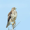 Petite Buse Commun, printemps-automne.  Nicheur _  Broad-winged Hawk. Common, spring-fall.  Breeds.