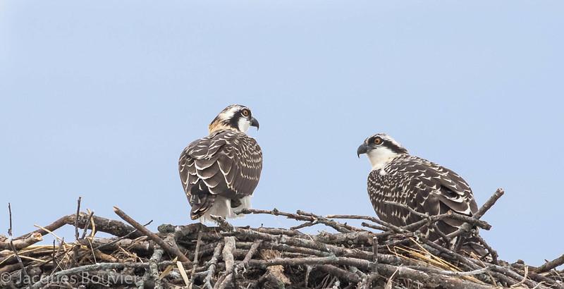 Balbuzard pêcheur juvéniles prêt à quitter leur nid près de Summerstown le 26 juillet 2015.<br /> <br /> Two young Ospreys ready to leave their nest near Summerstown on 26 July 2015.