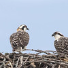 Balbuzard pêcheur juvéniles prêt à quitter leur nid près de Summerstown le 26 juillet 2015.<br /> <br /> Two young Ospreys ready to leave their nest near Summerstown on 26 July 2015.