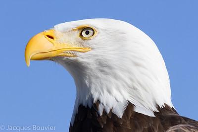BIRDS OF PREY 1 (Except Owls) - LES OISEAUX DE PROIE 1 (Sauf les hiboux)