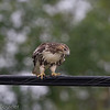 Buse à queue rousse. Commun, printemps-automne.  Peu commun l'hiver.  Nicheur  _  Red-tailed Hawk . Common, spring-fall. Uncommon in winter.  Breeds.