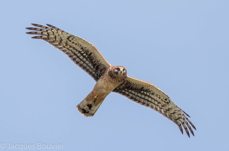 Busard des marais.  Commun, printemps à l'automne.  Rare l'hiver. Nicheur _   Northern Harrier.  Common, spring to fall.  Rare in winter.  Breeds.