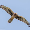 Busard Saint-Martin.  Commun, printemps à l'automne.  Rare l'hiver. Nicheur _   Northern Harrier.  Common, spring to fall.  Rare in winter.  Breeds.