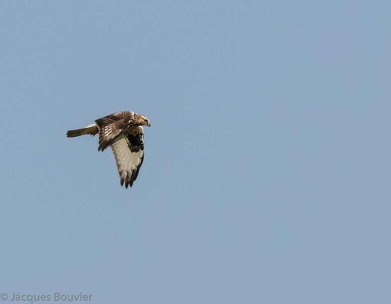 Buse pattue .  Peu commun, de l'automne au printemps.  Très rare l'été  _   Rough-legged Hawk .  Uncommon, fall to spring. Very rare in summer.