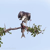 Balbuzard pêcheur. Commun, printemps-automne.  Nicheur _ Osprey. Common, spring-fall.  Breeds