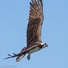 Balbuzard pêcheur. Commun, printemps-automne.  Nicheur _ Osprey. Common, spring-fall.  Breeds.
