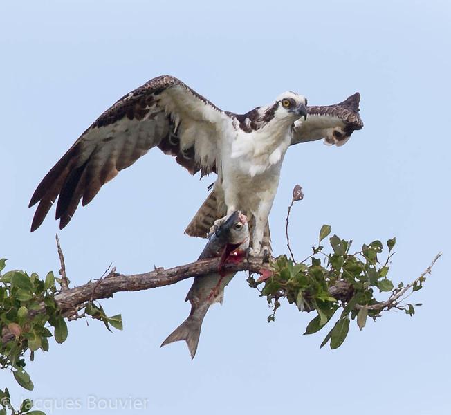 Balbuzard pêcheur. Commun, printemps-automne.  Nicheur _ Osprey. Common, spring-fall.  Breeds