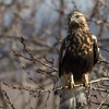 Buse pattue .  Peu commun, de l'automne au printemps.  Très rare l'été  _   Rough-legged Hawk .  Uncommon, fall to spring. Very rare in summer.