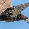 Pygargue à tête blanche juvénile (moins d'un an / à sa première année) photograhié près du barrage Carillon à Chute-à-Blondeau le 5 septembre 2015.<br /> <br /> Dès l'automne le dos et le devant des ailes deviennent brun et contrastent avec le dessus noirâtre des primaires et des secondaires; ce contraste permet de le distinguer de l'Aigle royal et de l'Urubu à tête rouge qui ne possèdent jamais de contraste si marquant quand vu de loin.<br />  <br /> Seulement le juvénile a le ventre fauve et les secondaires avec le bout pointu qui sont toutes de la même longueur; il a aussi la tête et l'oeil d'un brun sombre, et la cire et le bec foncés.<br /> <br /> <br /> <br /> A juvenile (less than 1 year old/1st-year) BALD EAGLE photographed near the Carillon Hydroelectric dam in Chute-à-Blondeau on 5 September 2015.<br /> <br /> By autumn, the back and upperwings fade to brown and contrast with the blackish flight feathers, often appearing two-toned at a distance; vultures and Golden Eagles do not show this clear contrasting pattern.<br /> <br /> Juveniles have tawny bellies and pointed-tip secondaries that are all the same length; they also have a dark brown head, and dark cere, and beak.  Eye colour is also dark.