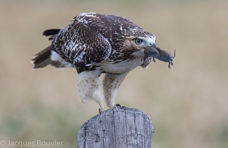 Buse à queue rousse. Commun, printemps-automne.  Peu commun l'hiver.  Nicheur  _  Red-tailed Hawk . Common, spring-fall. Uncommon in winter.  Breeds.