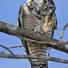Chouette épervière.  Variable, automne au printemps. Extrêmement rare l'été.  Nicheur _   Northern Hawk-Owl.  Variable, fall to spring. Extremely rare in summer.  Breeds