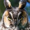 Hibou moyen-duc.  Très rare toute l'année. Nicheur   _  Long-eared Owl .  Very rare all year long.  Breeds..
