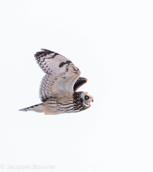 Hibou des marais.  Variable durant toute l'année (plus souvent très rare).  Nicheur _  Short-eared Owl .  Variable all year long (most often very rare).  Breeds.