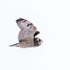 Hibou des marais.  Variable durant toute l'année (plus souvent très rare).  Nicheur _  Short-eared Owl .  Variable all year long (most often very rare).  Breeds.