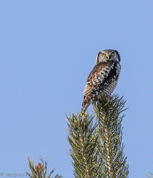 Chouette épervière.  Variable, automne au printemps. Extrêmement rare l'été.  Nicheur _   Northern Hawk-Owl.  Variable, fall to spring. Extremely rare in summer.  Breeds.