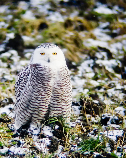 Harfang des neiges.  Variable de l'automne au printemps; extrêmement rare tôt l'été _  Snowy Owl   Variable from fall to spring; extremely rare during early summer.