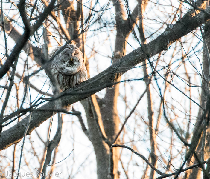 Chouette rayée.  Peu commun, toute l'année.  Nicheur _  Barred Owl.  Uncommon, all year.  Breeds.