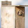 Petit-duc maculé.  Peu commun, toute l'année.  Nicheur  _   Eastern Screech-Owl .  Uncommon, all year.  Breeds.