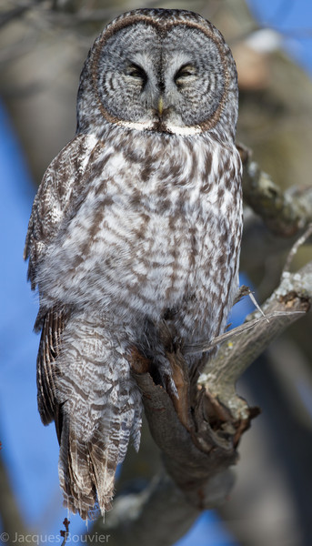 Chouette lapone.  Variable, automne au printemps  _  Great Gray Owl.  Variable, fall through spring.